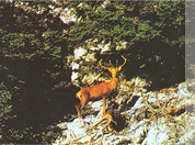 A deer on Mt. Parnitha...